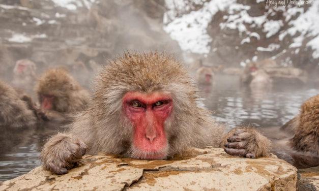 The Snow Monkeys of Jigokudani, Japan