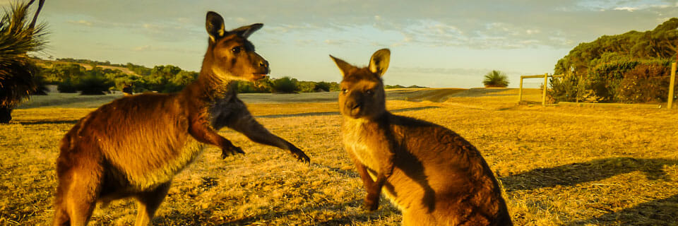 Kangaroo Island – Raw Beauty and Many Wild Marsupials