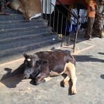 Market Cow