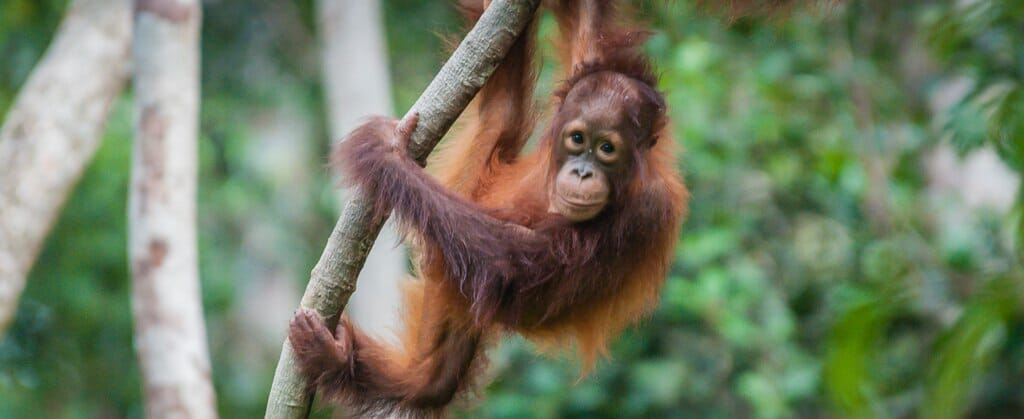 In Search of Wild Orangutans