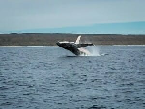 iPhone pic of breaching humpback