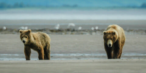 Hallo Bay (Katmai National Park)