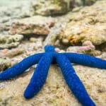 Lagoon starfish