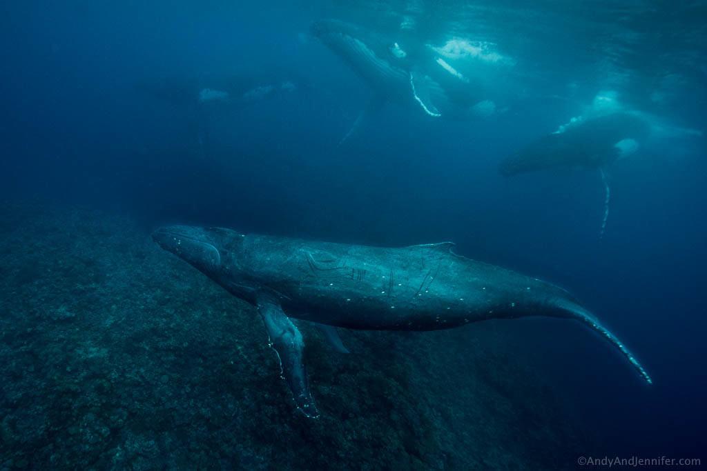 Humpback Whales in Tonga