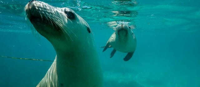 Swimming with Sea Lions (and Shark Cage Diving) in Port Lincoln
