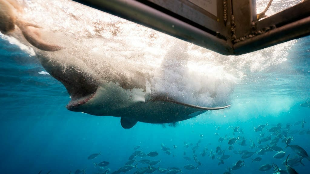 A 3.5 Meter Great White