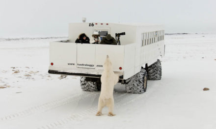 The Polar Bears of Churchill