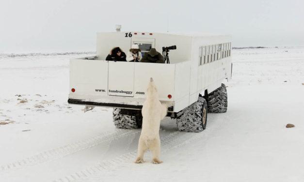 The Polar Bears of Churchill
